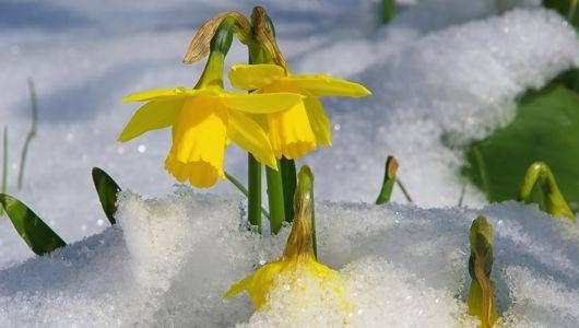 snow daffodil large.jpg.560x0_q80_crop-smart